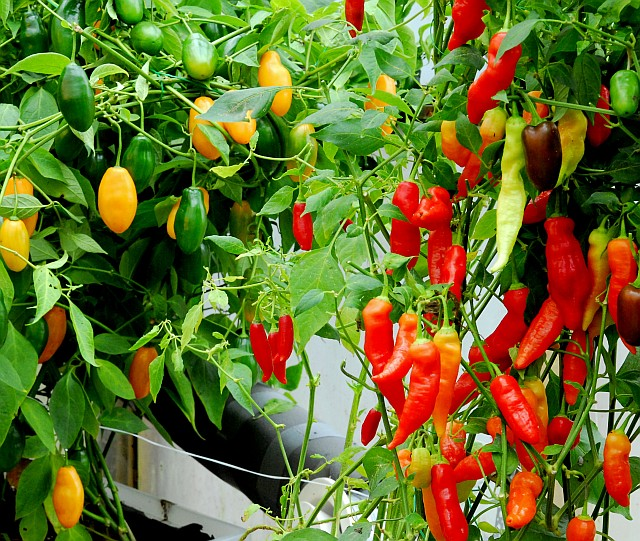 Fatalii's Growing Guide - Growing chiles with hydroponics!